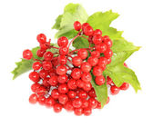 Berries of a guelder-rose — Stock Photo
