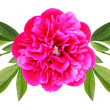 Flower of a peony - Stock Photo