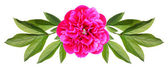 Flower of a peony — Stock Photo