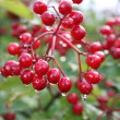 Guelder-rose — Stock Photo