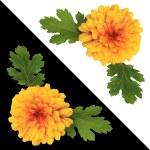 The isolated chrysanthemum — Stock Photo