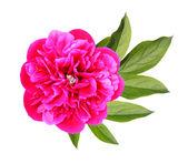 Flower of Peony — Stock Photo
