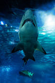 Shark silhouette underwater — Stock Photo