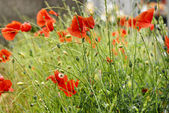 Poppies on green meadow — Stock Photo