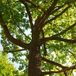 Stock Photo: Branches of the oak