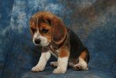 悲しい子犬 — ストック写真