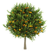 Orange tree isolated on white background — Stock Photo