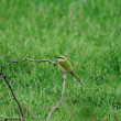 Bee Eater — Stock Photo #7197415