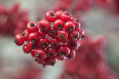 Wild berries — Foto Stock