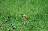 Bee Eater — Stock Photo