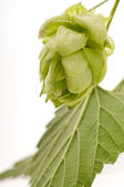 Hop cone and leaves on white background — ストック写真