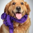 Golden Retriever dog portrait - Stock Photo