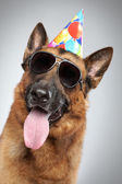 German shepherd in cone and dark sunglasses — Stock Photo