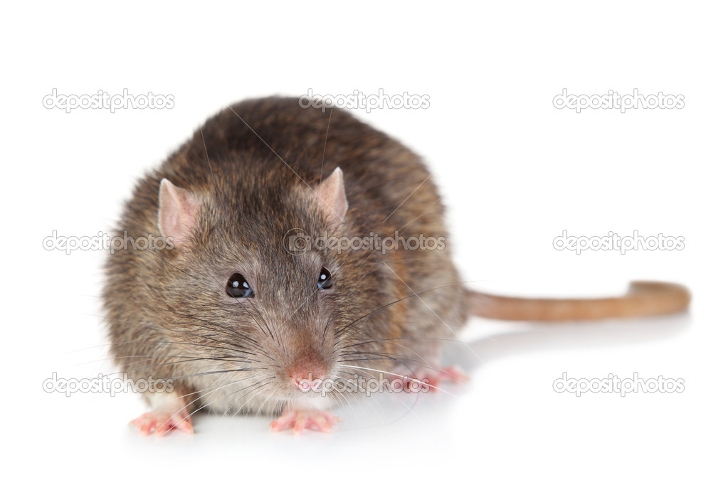 Rat on white background — Stock Photo #6769275