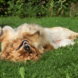 Golden Retriever resting on grass — Stock Photo