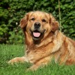 Golden Retriever lying on grass — Stock Photo #6906033
