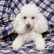 Toy poodle lying on a sofa — Stock Photo