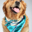 Stock Photo: Golden Retriever dog fashon portrait