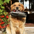 Trained Golden retriever with a boot in teeth — Stock Photo