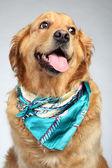 Golden Retriever dog fashon portrait — Stock Photo