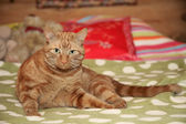 Ginger cat lying on a sofa — Stock Photo