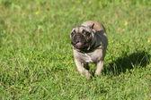 French Bulldog puppy running — Stock Photo