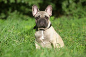 French Bulldog puppy in grass — Stock Photo