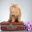 Ginger Persian cat on a suitcase — Stock Photo #6978648