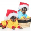 Russian Toy Terrier puppies in winter clothing - Stock Photo