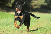 Rottweiler on green lawn — Stock Photo