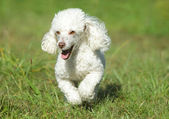 White toy poodle running — Stock Photo