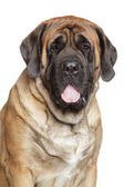 Portrait of a english mastiff — Stock Photo