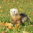 Ferret play autumn meadow — Stock Photo
