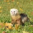 Ferret play autumn meadow - Stock Photo