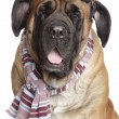 English Mastiff dog with Vintage Motorcycle Goggles glasses - Stock Photo