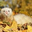 Stock Photo: Ferret play with yellow autumn leaves