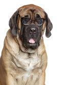 English Mastiff dog in glasses — Stock Photo