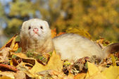 Ferret play with yellow autumn leaves — Stock Photo
