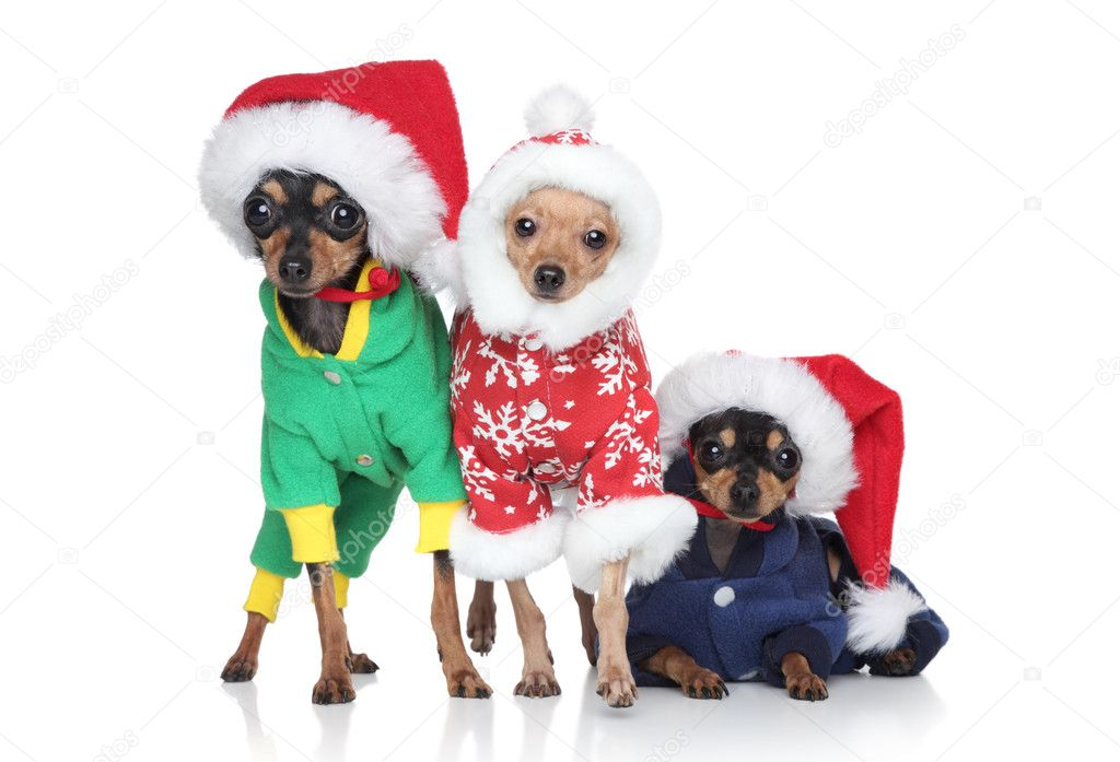Group Toy Dogs : Group of toy terrier puppies in christmas hats — stock