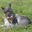 Standard schnauzer (mittelschnauzer) on grass — Stock Photo #7469243