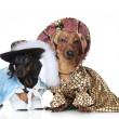Two fashionable dachshund — Stock Photo