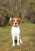 Beagle psa na zelené louce — Stock fotografie