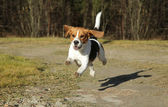 Beagle running in autumn park — Stock Photo