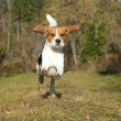 Beagle running in autumn park - Stock Photo