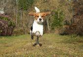 Beagle running in autumn park — Stock Photo