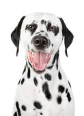 Portrait of a smiling Dalmatian — Stock Photo