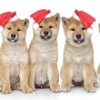 Shiba inu puppies portrait - Stock Photo