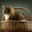 Cat in basket - Stock Photo