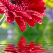Closeup of red daisy-gerbera reflected in the water — Stock Photo