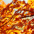 Red autumn leaves — Stok fotoğraf